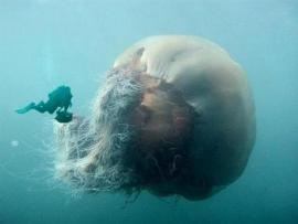 This is the biggest jelly fish.