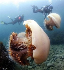 Two of the huge jelly fish accompanied by divers.