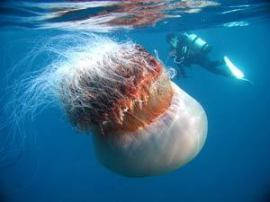 Really a big one. The size of this jelly fish compares to a size og human.