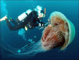 Jelly Fish with a diver.