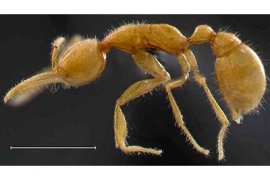 The Martialis heureka, a new species of blind, subterranean, predatory ants, is pictured above. The insect is like no other ant, and probably dates back 120 million years, making it the oldest still inhabiting the earth.